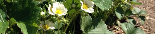 strawberry-blossom