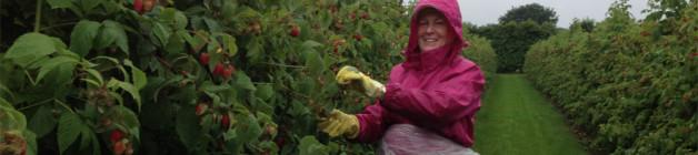 Raspberry picking in the rain