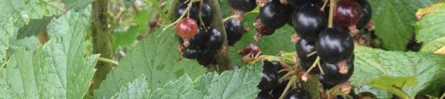 Ripe blackcurrants
