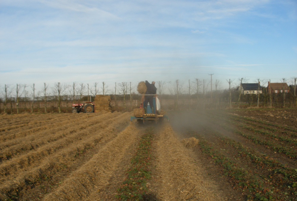 Covering the strawberry plants in straw