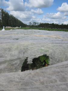 Strawberry plants under fleece