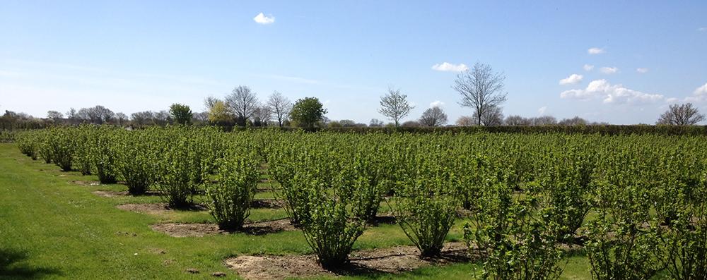 Gooseberry field in spring