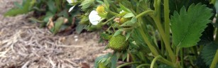 Very young strawberries-