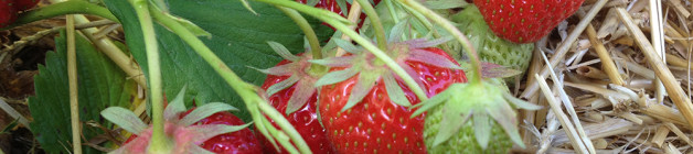 New season elsanta strawberries