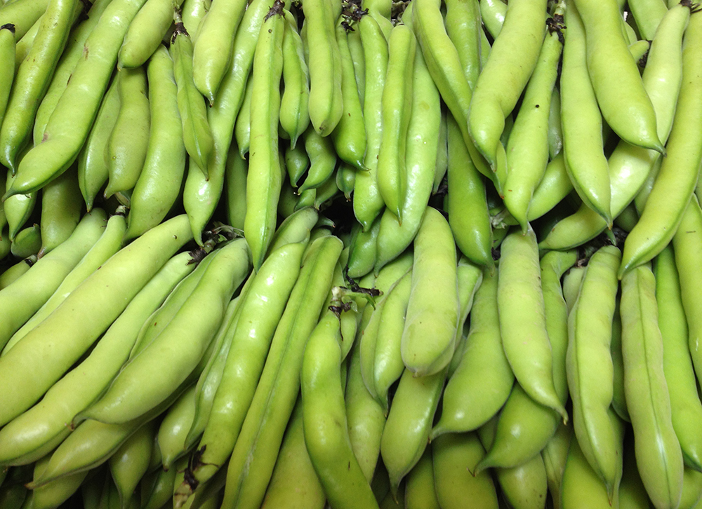 Freshly picked broad beans