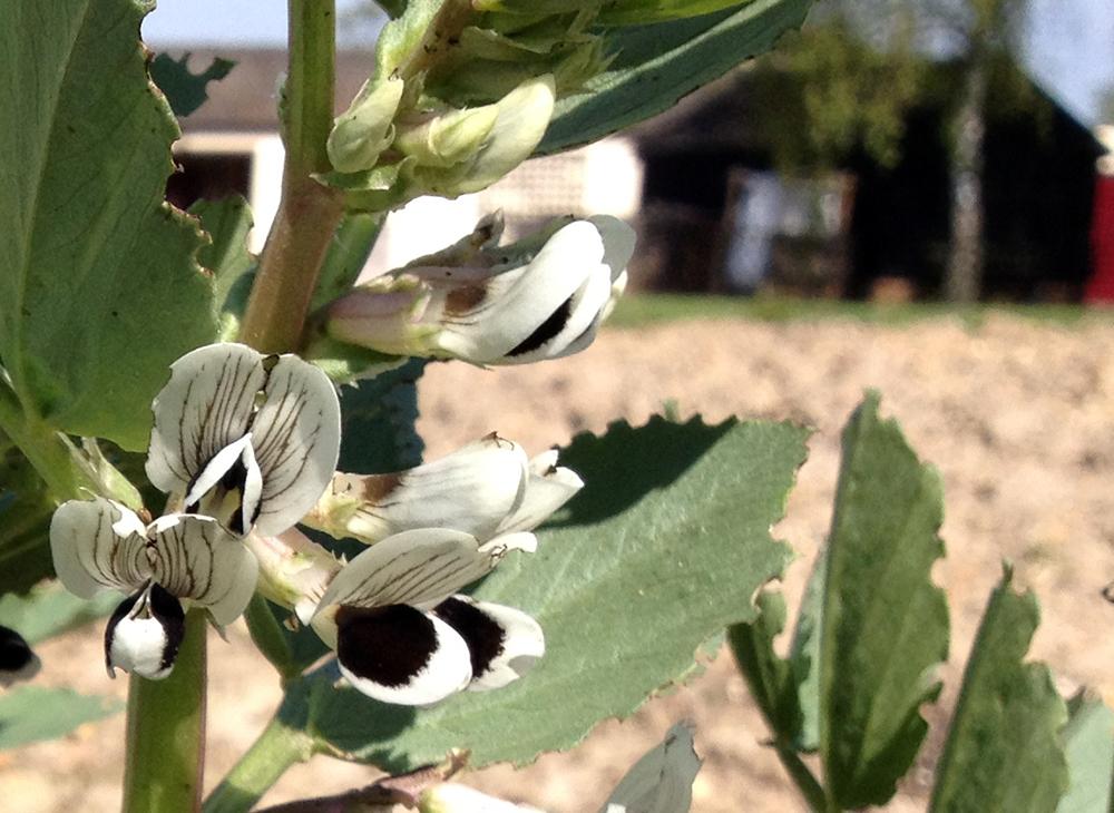 Broad bean blossom