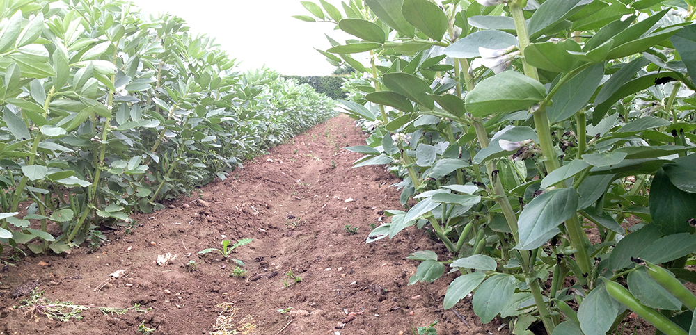Rows of broad beans