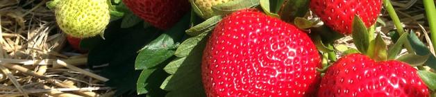 Mid-season Vibrant strawberries