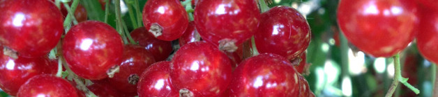 Pick your own redcurrants