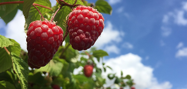 Raspberries blue sky