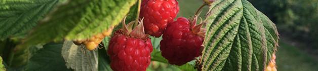 First Tulameen raspberries