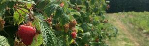 Ripening raspberries