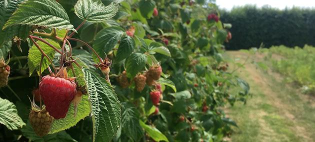 Raspberries ripening in the sunshine