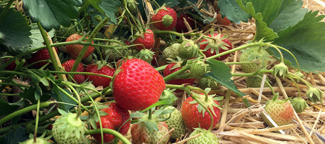 Early Elsanta strawberries