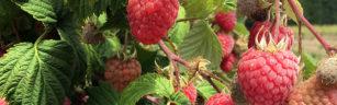 Discount on PYO raspberries