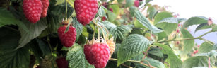 Easy picking on the Tulameen raspberries