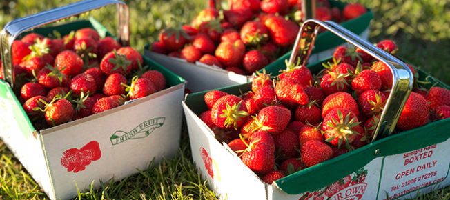 Strawberries easy to pick