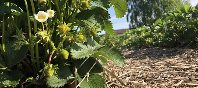 Unripe strawberries and blossom