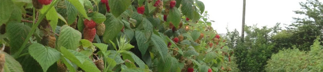 Raspberries for picking