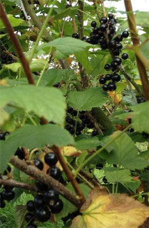 Blackcurrants growing on the bush