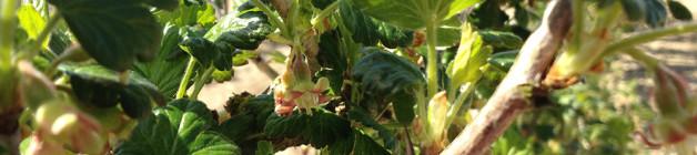 Gooseberry bush blossom
