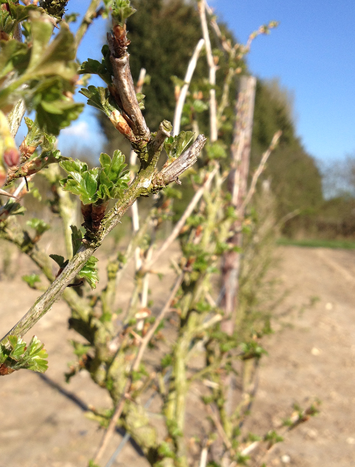 Gooseberry buds in spring