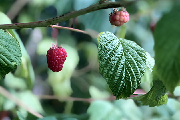 Late season raspberries