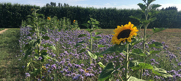 Sunflowers growing in phacelia