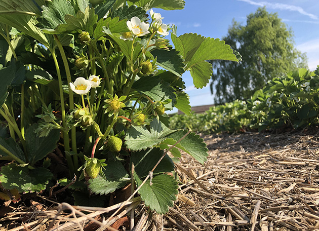 Strawberry blossoms and baby berries