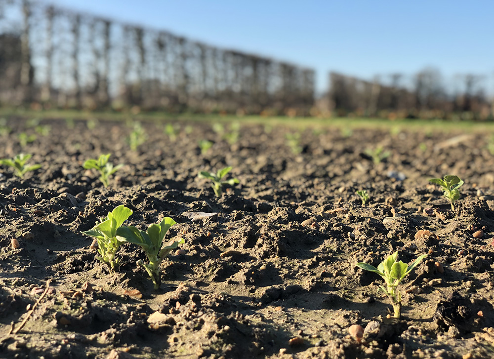 Winter-sown broad beans popping their heads up through the soil.