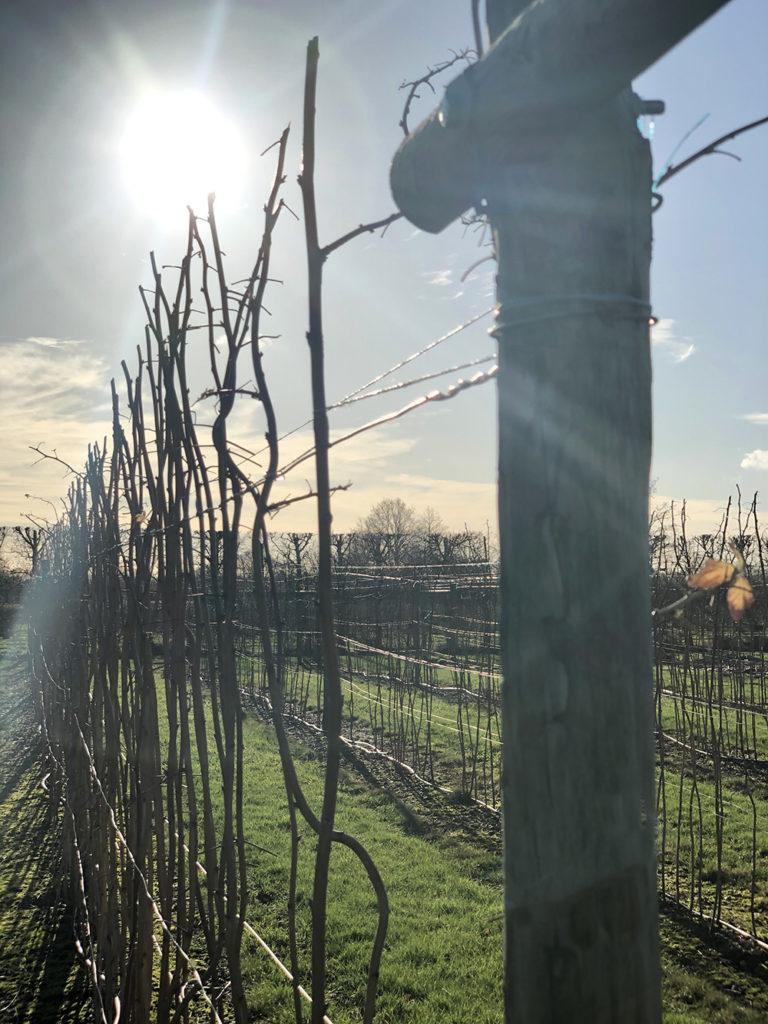 Raspberry canes in the winter sun